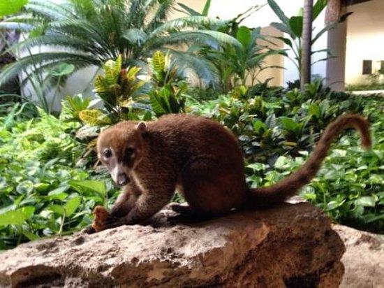 Grand Velas Riviera Maya: One of Many Coati's On the Grounds