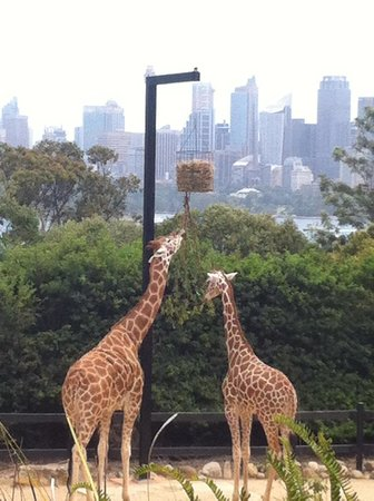 Taronga Zoo: Skyscraper backdrop