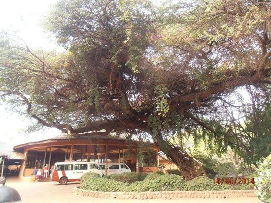 Amboseli Sopa Lodge: Reception. Но главное - дерево, а это всего лишь акация, но такая огромная!  Даже для саванны...