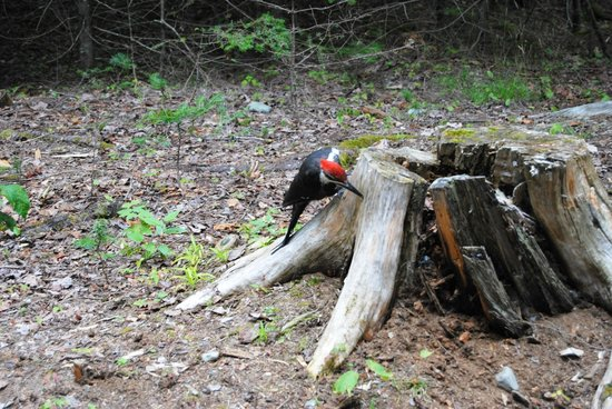Lily Bay State Park: There were pileated woodpeckers everywhere!