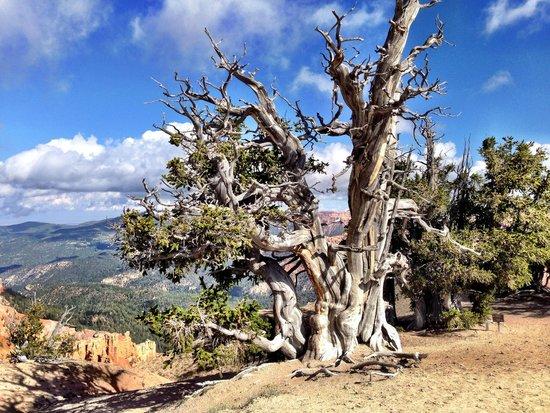 Cedar Breaks National Monument : Cedar Breaks tree