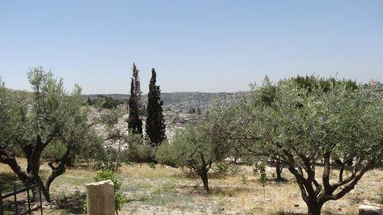 Mount of Olives: Елеонская (масличная) гора, на ней и сейчас растут оливы