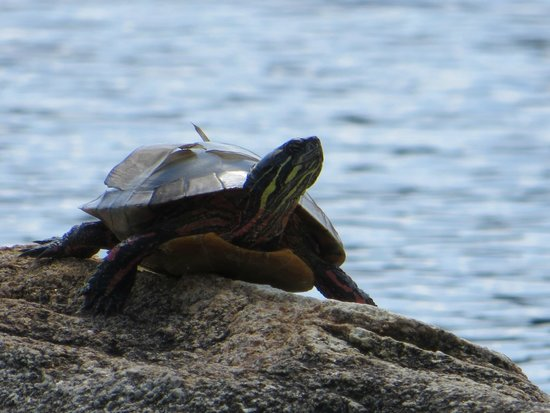 Pitcher Pond : painted turtle