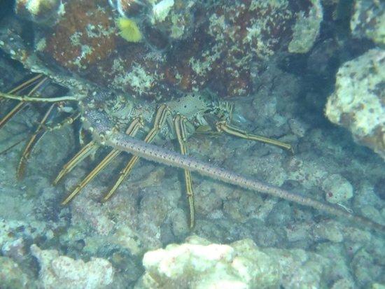 Atlantic Ocean Beach Villas: Lobster - Smiths Reef
