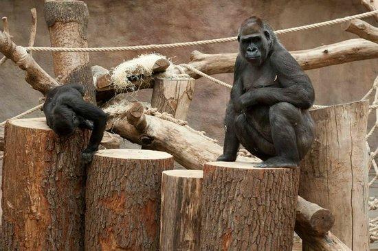 Prague Zoo: Gorillas