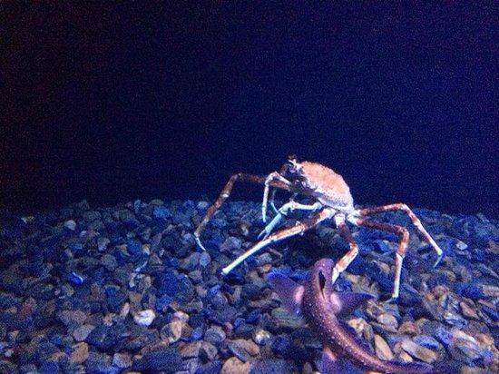 Lisbon Oceanarium : crab