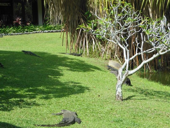 Nexus Resort & Spa Karambunai : 敷地内にいる水トカゲ