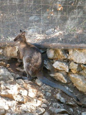 Parc Zoologique Henri de Lunaret : wallaby