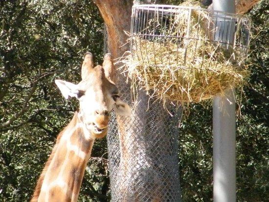Parc Zoologique Henri de Lunaret : girafe