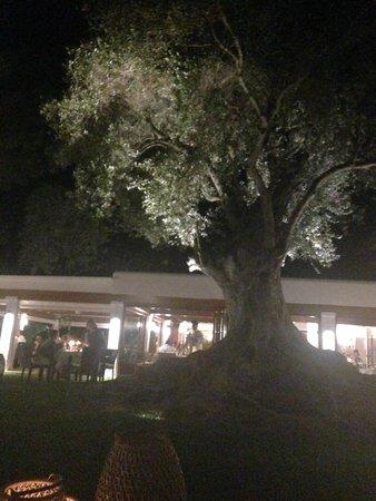 Can Curreu: le fameux olivier millénnaire