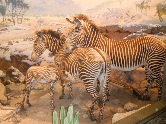 American Museum of Natural History : Zebras, so lifelike