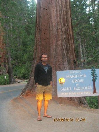 Tenaya Lodge at Yosemite : Mariposa Grove of Giant Sequoias