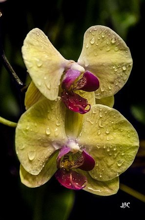 Conservatory of Flowers: Moth Orchid