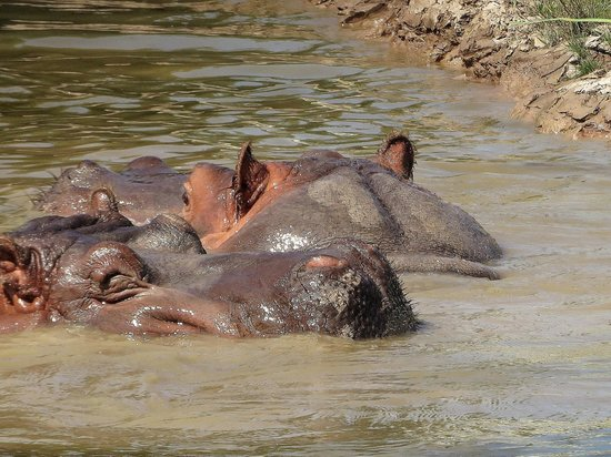 Safari Niagara: two shy hippos looking for a private bath, no way