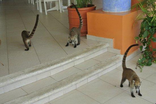 Grand Bahia Principe Coba: coati