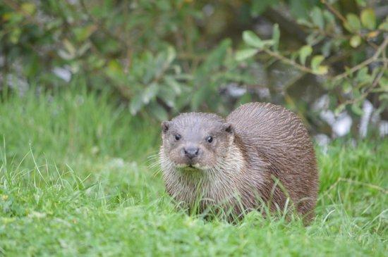 British Wildlife Centre: Photo of otter
