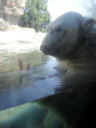 San Diego Zoo : So close to Polar bear