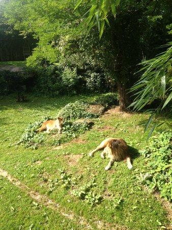 Bioparc de Doué la Fontaine : The Lions!