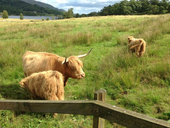 The Hairy Coo - Free Scottish Highlands Tour : Hairy Coos