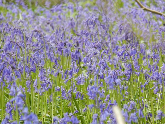 Robin Hill Country Park : Amazing Bluebell Woods!