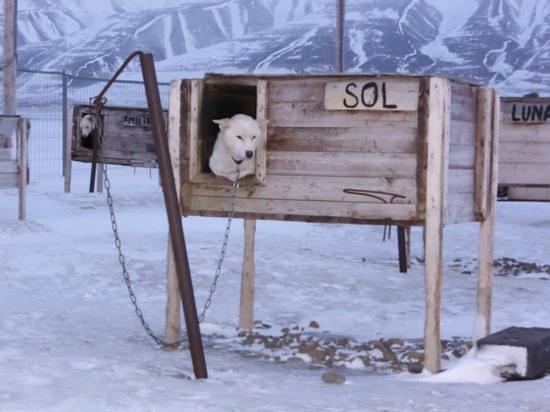 Svalbard Husky : Sol er klar for tur, og lurer på om det blir hennes tur denne gang...