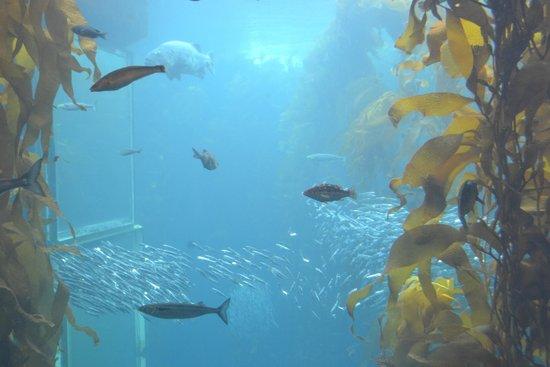 Monterey Bay Aquarium: Cardume de pequenos peixes ao fundo