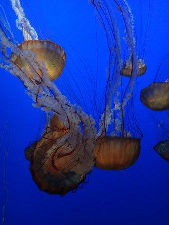 Monterey Bay Aquarium: Jelly - Sea Nettle