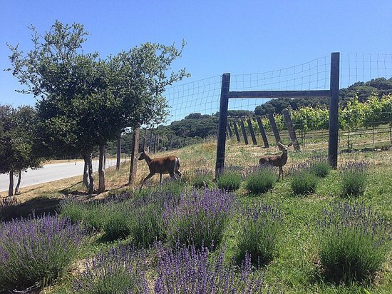 Carmel Valley Ranch: Deer roaming around the property