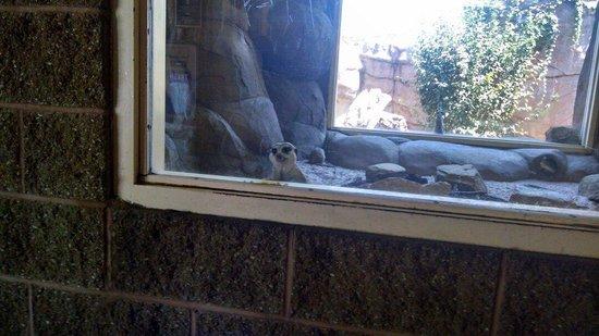 Tulsa Zoo : Meerkat saying hello