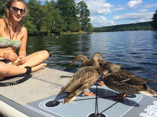 Safe Haven Cottage Resort : Ducks trying out paddleboarding