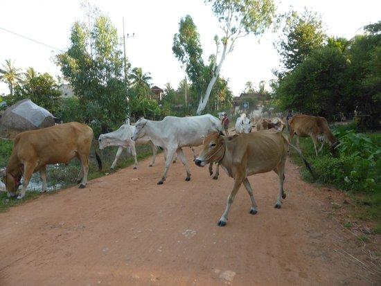 Quad Adventure Cambodia Siem Reap: Crossing cows!