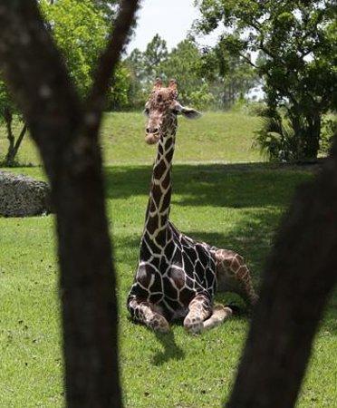 Zoo Miami : giraffe