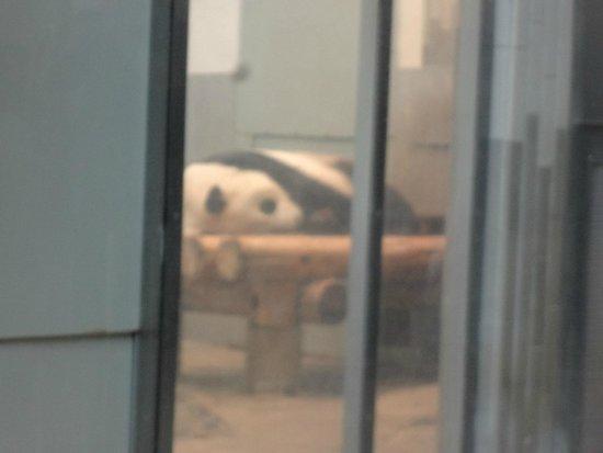Ueno Zoo: Panda