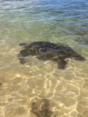 Hilton Hawaiian Village Waikiki Beach Resort Turtle North S