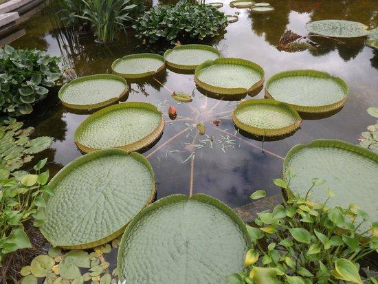 Aquatic Plants Garden Mizunomori : オニバス