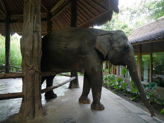 Bali Safari & Marine Park : 檻から出ようとして怒られてたぞうさんw