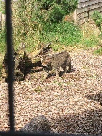 The Scottish Deer Centre: Scottish Wildcat