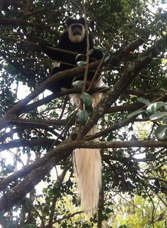 Trout Tree : home to the most beautiful Colobis monkeys