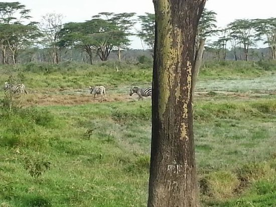 Sarova Lion Hill Game Lodge: In the park
