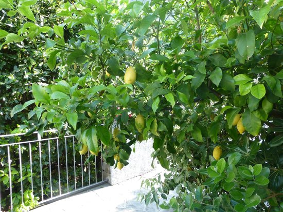 Cinqueterre Residence: Lemon tree on terrace