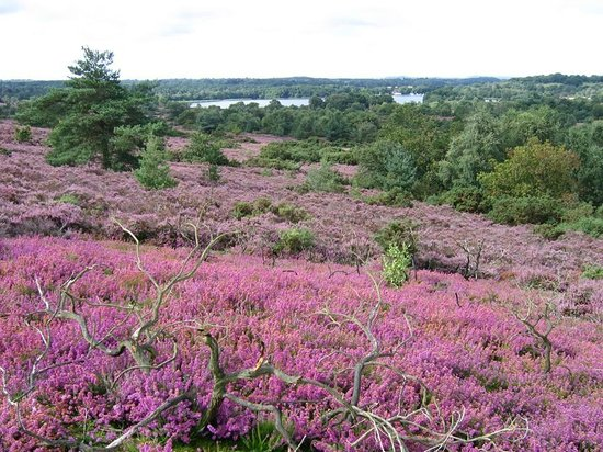 Frensham, UK: Great Pond from the Common