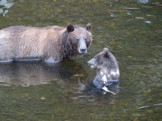 Knight Inlet Lodge: Grizzly mit Jungem