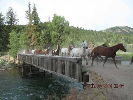 Spotted Horse Ranch: running of horses every morning