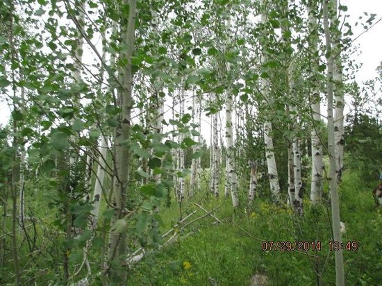 Spotted Horse Ranch: aspen trees