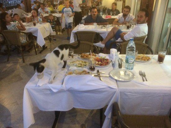 WOW Bodrum Resort: wild cat eating from someones table