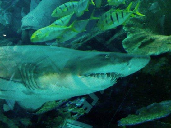 Dubai Aquarium & Underwater Zoo: Tubarão