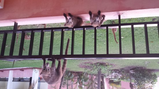 ClubHotel Riu Tequila: Les coatis