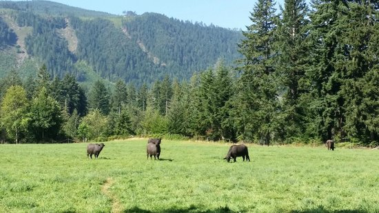 Fairburn Farmstay and Guesthouse: water buffaloes in the pastures