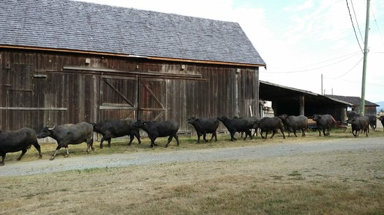 Fairburn Farmstay and Guesthouse: Morning parade from milking barn