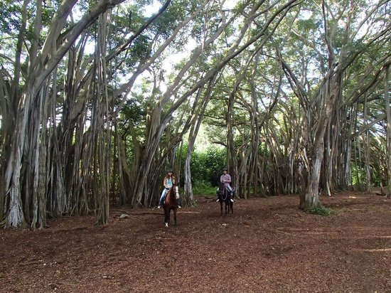 Turtle Bay Resort: Horseback riding through the banyans.